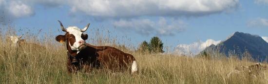 Vache (on la reconnaît parce qu'elle a des cornes...), en paix dans les alpages